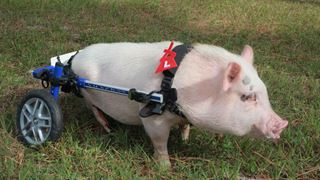 Des prothèses qui changent les vies des animaux