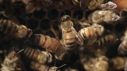 Découverte d'un art peu connu chez nous : l'élevage d'abeilles reines!