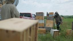 Le sarrasin courtise les abeilles pendant qu'un ours fouille dans les ruches