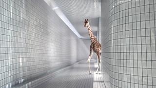 Quand les girafes découvrent la piscine…