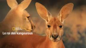 Le roi des kangourous