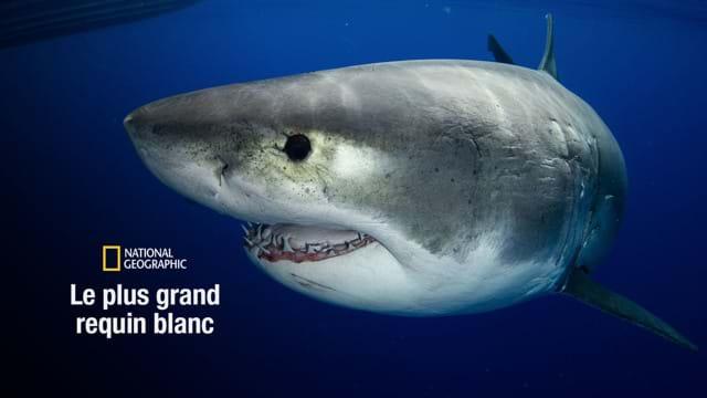 Le plus grand requin blanc