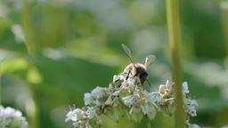 Le sarrasin courtise les abeilles pendant qu'un ours fouille dans les ruches'